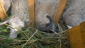 Small sheep and goats eat grass from the trough in the paddock stock video