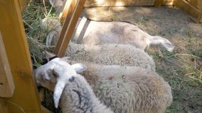 Small sheep and goats eat grass from the trough in the paddock stock video footage