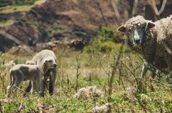 A little sheep and its mother royalty free stock photography