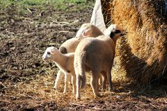 Small sheep and lambs eating from haystack feeder Royalty Free Stock Photos