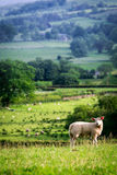 Small sheep on the top of green hill in District Lake, UK Royalty Free Stock Images
