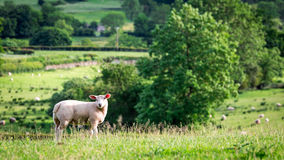 Small sheep on the top of green hill, England. Europe Stock Image
