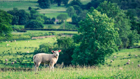 Small sheeps grazing on pasture in District Lake, UK Stock Photo
