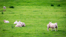 Small sheeps on green pasture in District Lake, UK Royalty Free Stock Photos