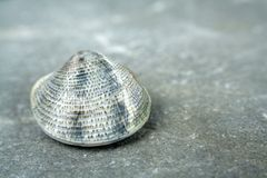 A small shell royalty free stock photo