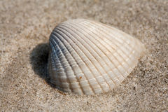 Small shell on beach sand Stock Photo