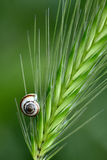 Small shell on a grass spikelet Stock Photos