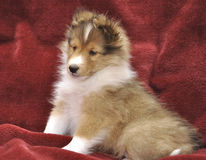 Small Sheltie puppy stock photos