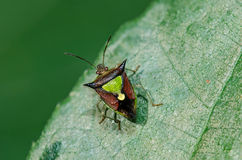 Small Shield Bug. On leaf Stock Images