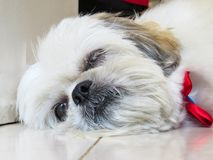 Small shih tzu lying down, almost sleeping. Small white haired shih tzu, lying, almost sleeping, close up on face Stock Photography