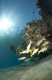 Small shoal of Yellowfin goatfish in shallow water Stock Images
