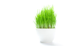 Small shoots of grass in a white mug  Stock Images