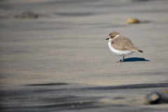 Small Shorebird Royalty Free Stock Image