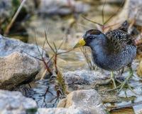 A small shorebird called a Sora stock images