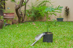 Small shovel with sprout of banana tree. Stock Image