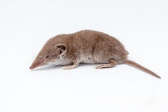 An small shrew Stock Image