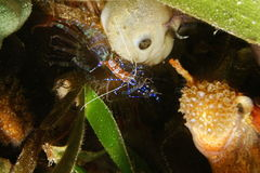 Small shrimp underwater spotted cleaner shrimp Stock Photography