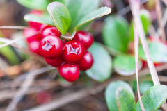 Small shrub with berries ripe cranberries. Royalty Free Stock Images