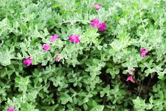 Small shrub Stems break many branches, they set up Dense bush. Fresh purple flowers to pinkish-red Single flowering along the axillary at the end of the branch stock photo