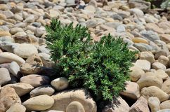 Small shrub in stones Stock Images