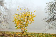 Small shrub with yellow leaves in misty morning Stock Photos