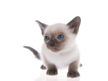 Small siamese kitten crouched on reflective surface, isolated Stock Photo