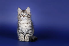 Small siberian kitten. Black silver tiger sitting on dark blue background Royalty Free Stock Photo