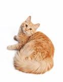 Small siberian kitten. On white background stock images