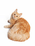 Small siberian kitten Stock Images