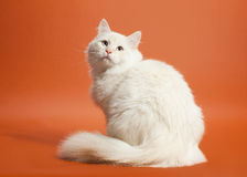 Small siberian kitten. On light brown background Royalty Free Stock Photography