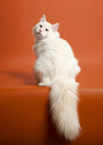 Small siberian kitten. On light brown background Royalty Free Stock Photo