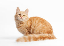 Small siberian kitten. On white background stock photo