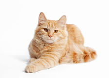 Small siberian kitten. On white background Stock Photography
