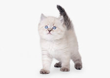 Small siberian kitten royalty free stock images