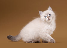 Small siberian kitten Royalty Free Stock Image