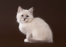Small siberian kitten on dark brown Royalty Free Stock Image