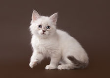 Small siberian kitten on dark brown Royalty Free Stock Images