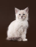 Small siberian kitten on dark brown Stock Image