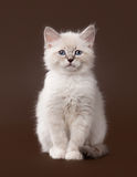 Small siberian kitten on dark brown Stock Photography
