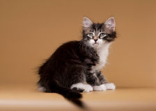 Small siberian kitten on light brown Royalty Free Stock Photo