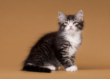 Small siberian kitten on light brown Royalty Free Stock Photography