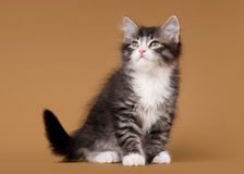 Small siberian kitten on light brown Stock Images