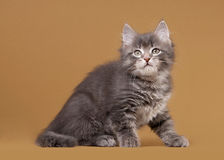 Small siberian kitten on light brown Royalty Free Stock Images