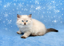 Small siberian kitten and snowflakes Royalty Free Stock Photography