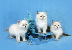 Small siberian kittens royalty free stock photos