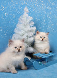 Small siberian kittens and xmas tree. Small siberian kittens and Christmas decor on blue background with snow royalty free stock images
