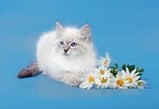 Small Siberian Neva Masquarade colorpoint kitten Stock Photography