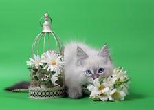 Small Siberian Neva Masquarade colorpoint kitten Stock Photo