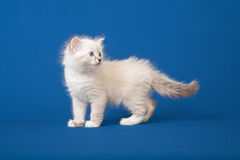 Small Siberian Neva Masquerade kitten Stock Photo