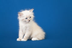Small Siberian Neva Masquerade kitten Royalty Free Stock Photo